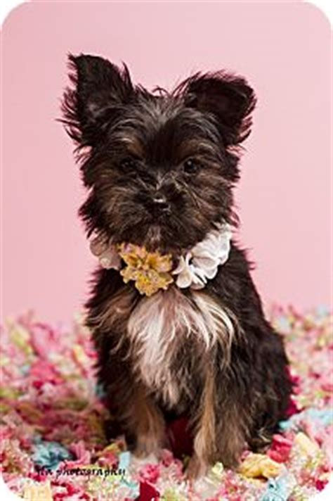 scottish terrier shih tzu mix molly adopted puppy baton la yorkie terrier shih tzu mix