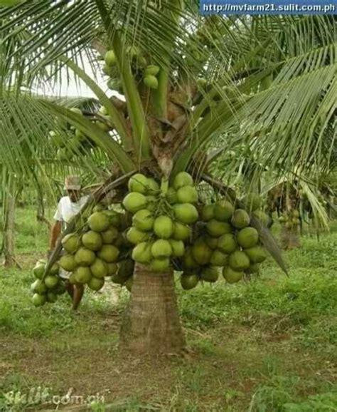 fruit bearing palm trees coconut tree tropical fruit bearing trees