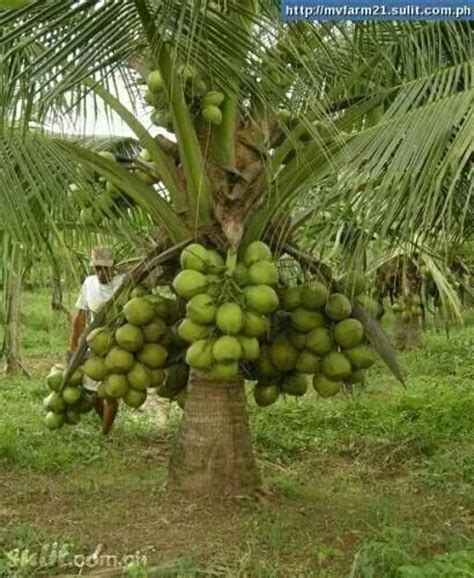 Dwarf coconut tree.   Planting, Growing & Harvesting Herbs