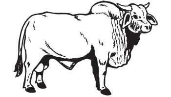 imagenes de toros para dibujar a lapiz brahma bull decal