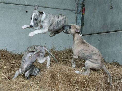 italian greyhound puppies for sale in pa de 25 bedste id 233 er inden for greyhound puppies p 229 italian greyhound