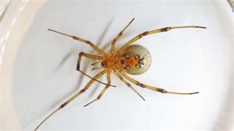 Brazilian Furniture australian police accuse man of violence spider dead cnn