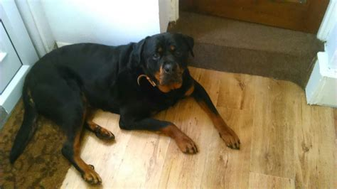 rottweiler cross great dane puppies for sale rottweiler cross great dane jarrow tyne and wear pets4homes