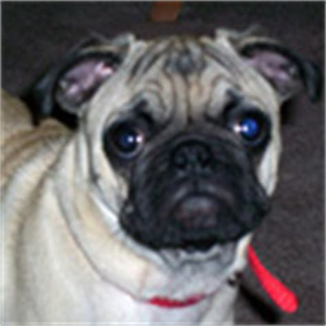 pug ringworm ringworm treatment pets best rx