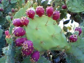 prickly pear cactus beed benz pinterest