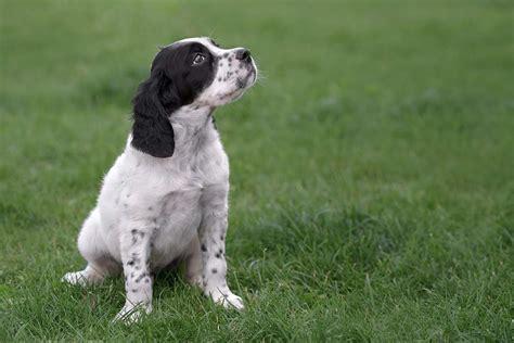 english setter dog training meet the english setter
