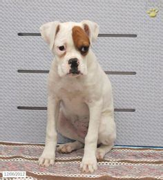 boxer puppies for sale in michigan american boxer akc boxer puppies for sale in ash twp michigan classified