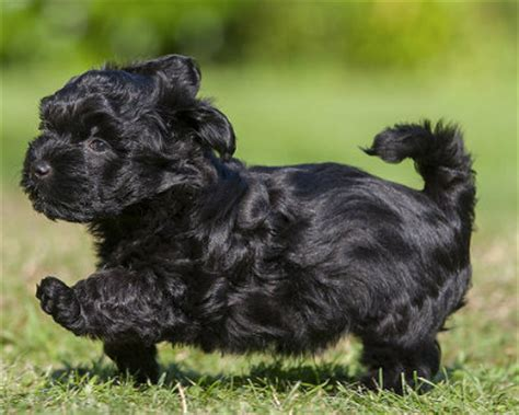 teacup havanese puppies for sale in illinois breeds hybrid breeds small black dogs breeds teacup breeds breeds