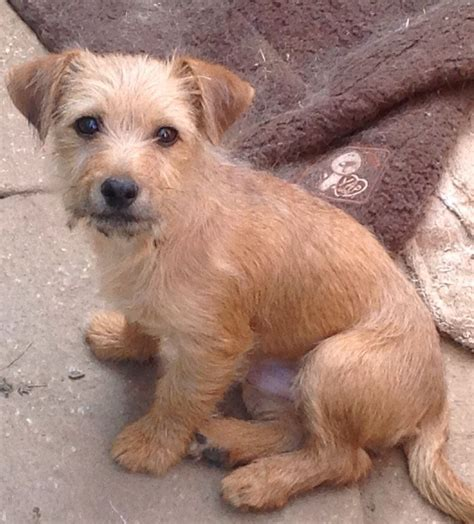 this puppy x norfolk terrier gloucester gloucestershire pets4homes