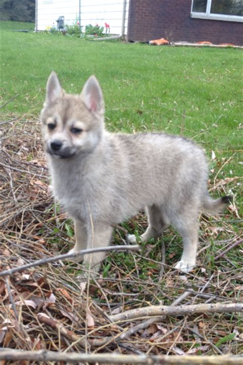 pomsky puppies for sale az lush pomsky puppies for sale in wisconsin