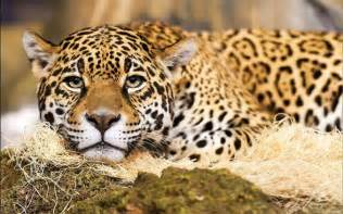 Jaguar Image Gallery Jaguar Czarna Pantera Dinoanimals Pl