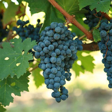 buy cabernet sauvignon grafted grape vines for sale double a viney