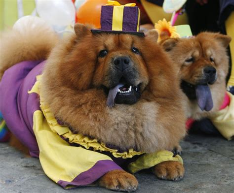 chow dogs chow chow dogs dressed up new 2013 pictures and animals