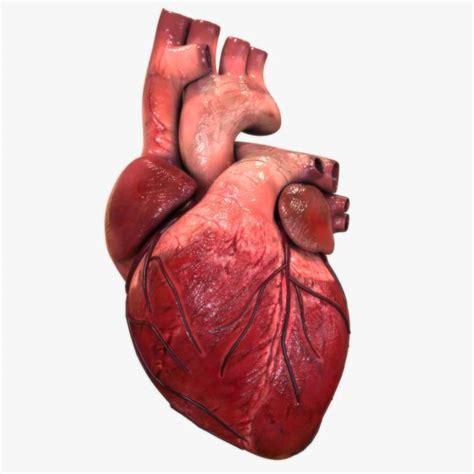 imagenes reales corazon humano 191 cu 225 nto mide el coraz 243 n humano 187 respuestas tips