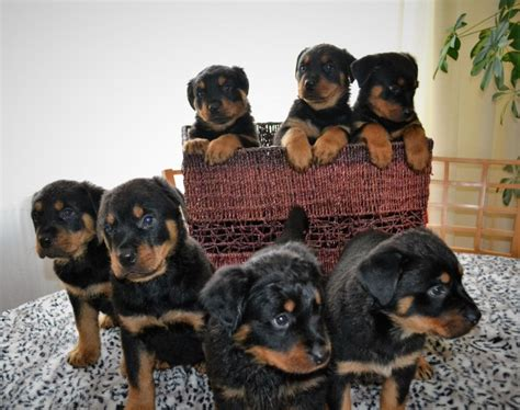 rottweiler x german shepherd puppies for sale rottweiler x german shepherd puppies grimsby lincolnshire pets4homes