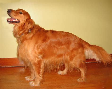 golden retriever biting golden retriever breed popularity a study in present times dogs arena