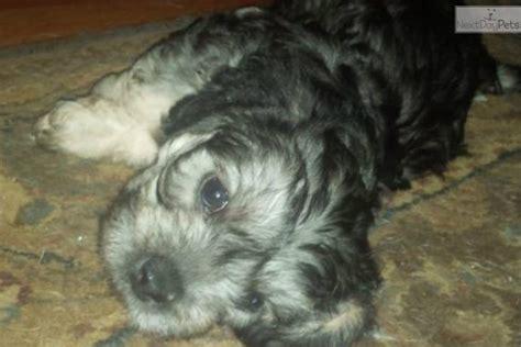 dandie dinmont terrier puppies for sale dandie dinmont terrier puppy for sale near ogden clearfield utah 9dc2bfe5 dce1