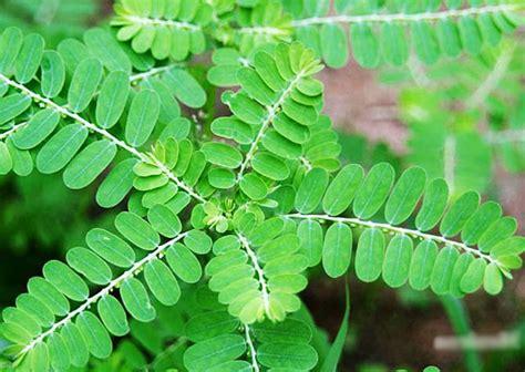 Obat Asam Lambung Dari Tumbuhan obat alami asam lambung dari tumbuhan buah buahan dan