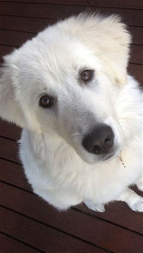 maremma golden retriever mix white maremma sheepdog golden retriever mix puppy dogs puppys