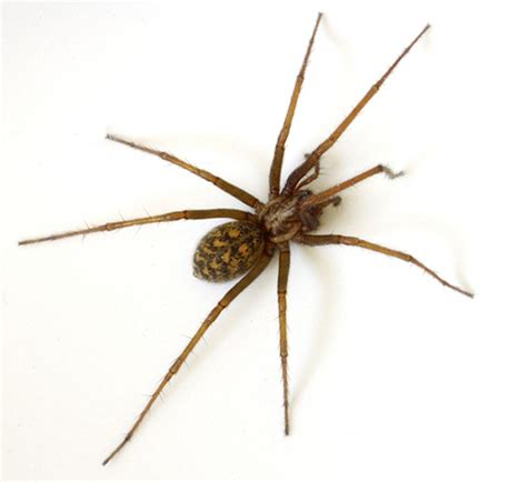 dangerous domestic spiders should canadians be worried
