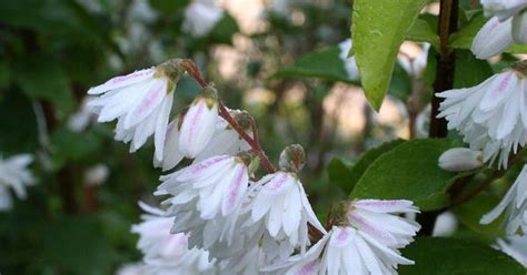 southern flowering shrubs white flower bushes outer banks nc southern florals
