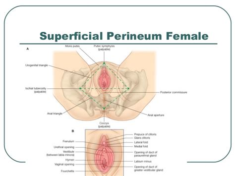 diagram of perineum anatomy of pelvis perineum