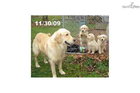 golden retriever puppies for sale in upstate ny golden retriever puppy for sale near tri cities tennessee f89fe42f b9e1