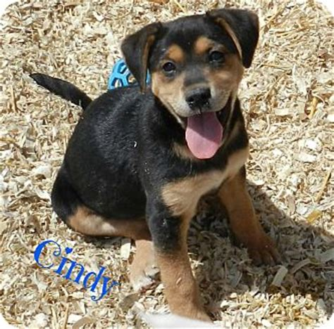 rottweiler rescue tn lawrenceburg tn rottweiler mix meet a puppy for adoption