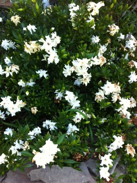 Gardenia Kleim S Hardy Pruning 17 Best Images About Gardenia On Rompers