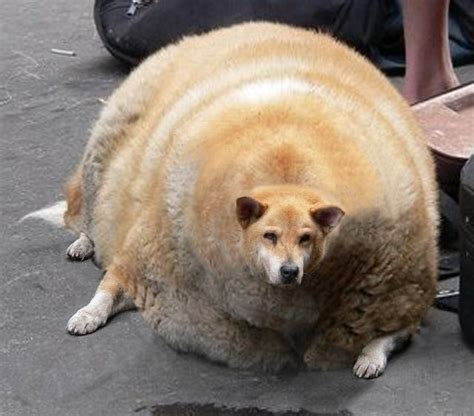 obese dogs the obese and weight loss captdrdave