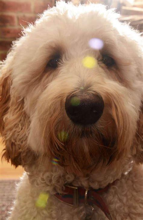golden retriever cross with poodle jak golden retriever standard poodle cross arc rehab