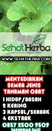 Hiu Daun Dewa Herbal Daun Dewa tanaman herbal toko tanaman herbal