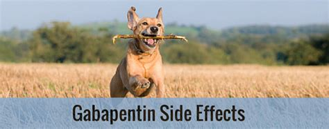 gabapentin side effects dogs gabapentin side effects entirelypets
