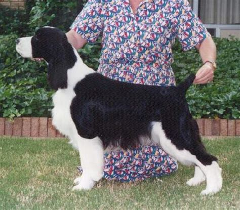 photo courtesy of gentry english springer spaniels ch salutaire s brightwater rookie