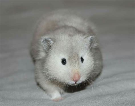 hamster colors 105 best hamster colors images on syrian