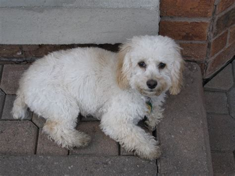 cockapoo puppy for sale cockapoo puppy testimonial dogs for sale puppies for sale in ontario canada