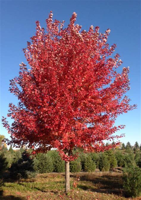 maple tree price tree farm prices mn evergreen maple pine spruce birch shade arbor hill