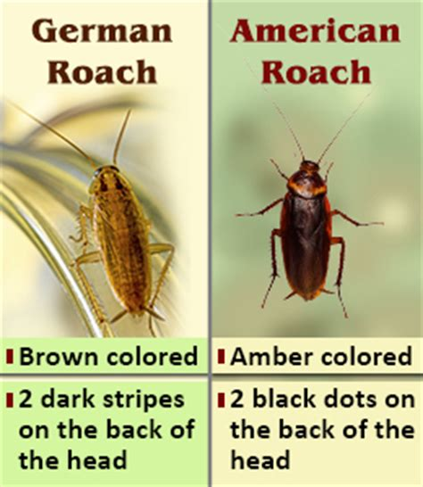 difference between on hold and on ice difference between american roaches and german roaches