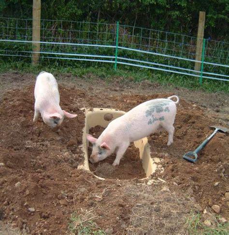 pig in bathtub piggy heaven