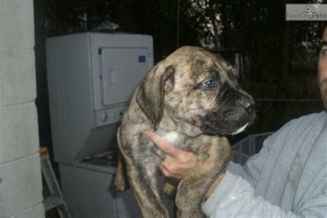 presa canario puppies for sale near me presa canario for sale for 800 near jacksonville florida a09f102b fc81