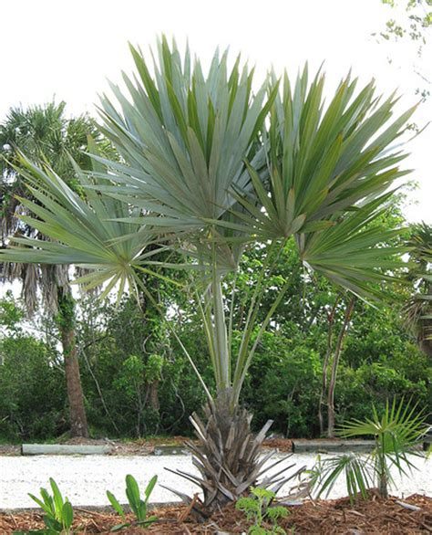 silver thatch palm flickr photo