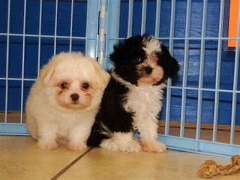 havanese puppies ct havanese puppies for sale in hartford connecticut county ct fairfield