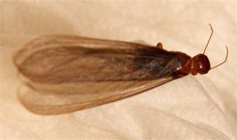 termite alate whats  bug