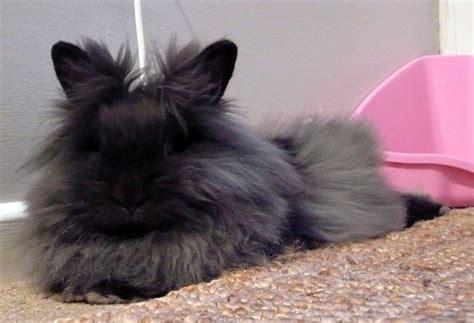 coniglio testa di coniglio testa di carattere e info sul coniglio nano
