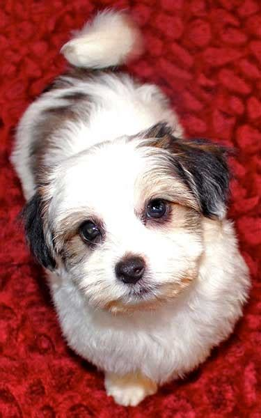 havanese puppies for sale in south florida havanese puppy for sale in boca raton south florida