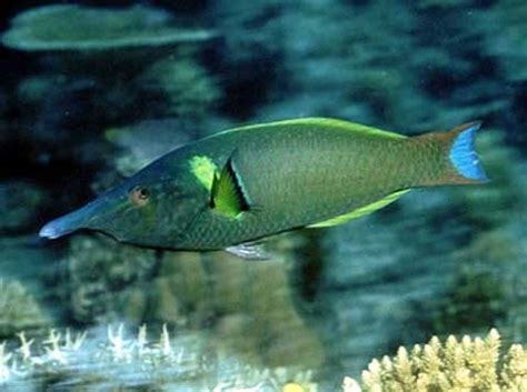 green bird wrasse salt water fish photos only at feldman s aquarium