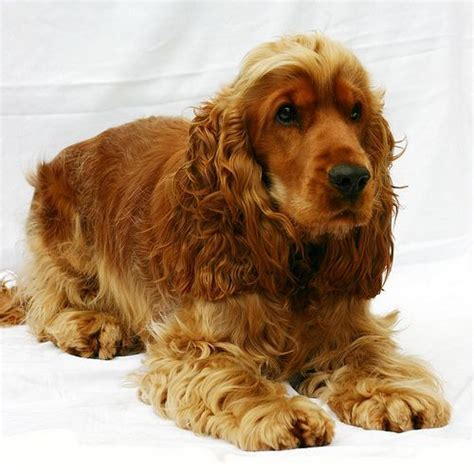 Cocker Spaniel Shed by 86 Best Images About American Cocker Spaniel On American Cocker Spaniel Puppys And