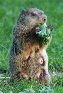 I A Groundhog In Backyard by Is It A Groundhog Or Woodchuck Bugs In Our Backyard