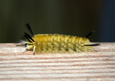 Caterpillar Yellow fuzzy yellow caterpillar pictures to pin on