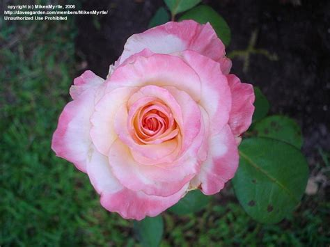 diana princess of wales rose plantfiles pictures hybrid tea rose diana princess of wales rosa by mikenmyrtle